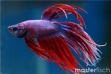 Masterfisch fische f r ihr aquarium kaufen masterfisch for Kampffisch shop
