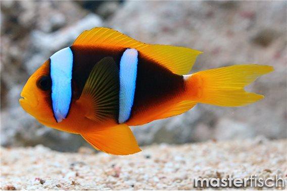 Orangeflossen-Anemonenfisch Mikronesien