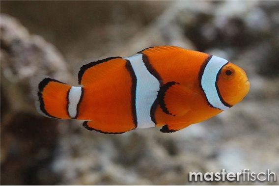 Trauerband-Anemonenfisch