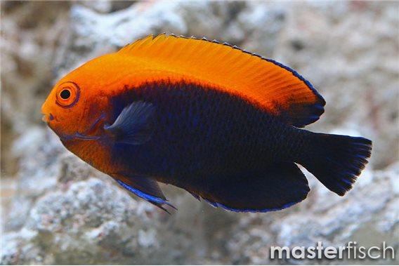 Gelbrücken-Zwergkaiserfisch