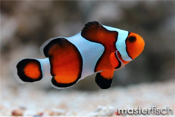 Clown Anemonenfisch Gadiator (Nachzucht)