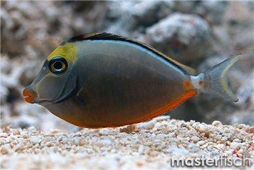 Kuhkopf Doktorfisch Hawaii