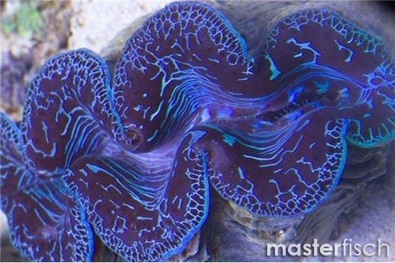 Mördermuschel Maxima Blau