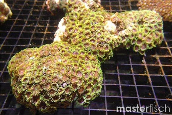 Zoanthus 3 colors 10-15 cm