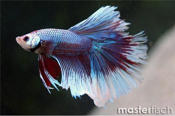 Siamesischer Kampffisch Halfmoon Solid Color