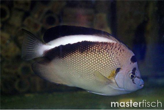 Griffis Kaiserfisch