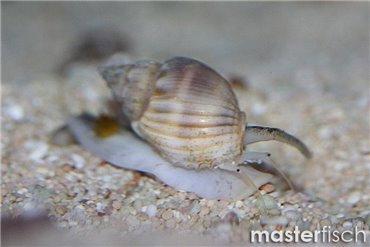 Schnecke Nassarius Verschieden