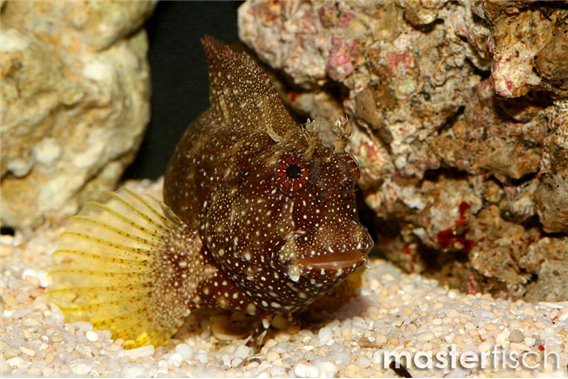 Schleimfisch Ramosus