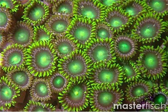 Grüne Krustenanemone
