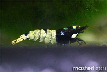 Taiwan Bee Pinto Black Garnele