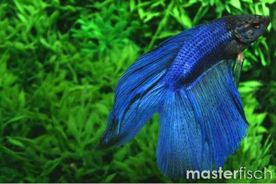 Siamesischer Kampffisch Lyre