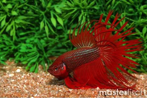 Siamesischer Kampffisch Kronenschwanz