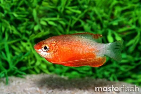 Honigfadenfisch Rot