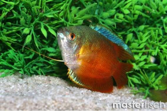 Zwergfadenfisch Neon Rot