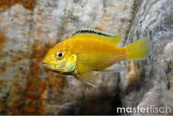 Gelber Labidochromis