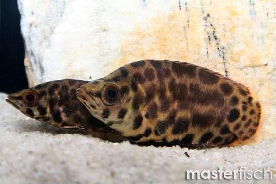 Leopard-Buschfisch