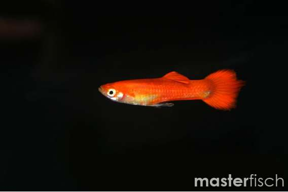 Guppy Red Blond