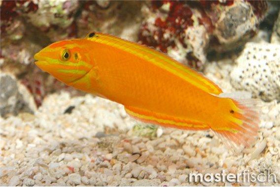 Kanarien Lippfisch