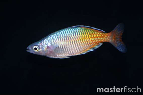Boesemans Regenbogenfisch