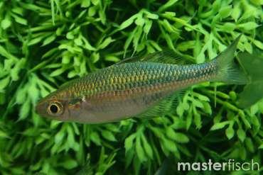 Regenbogenfische Kaufen