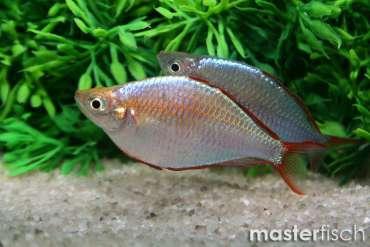 Diamantregenbogenfisch