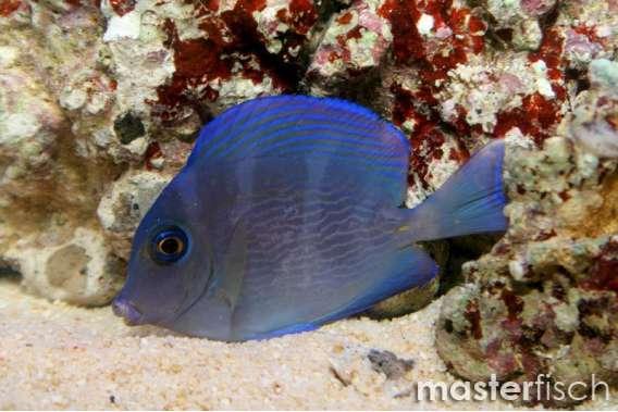 Blauer-Doktorfisch