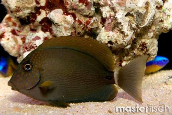 Punktgesicht-Doktorfisch