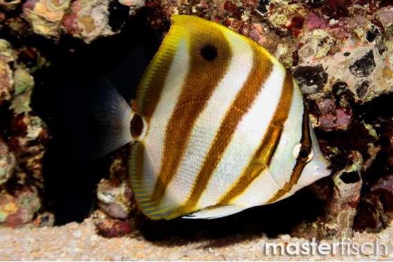Segelfalterfisch Fünfbinden-Falter