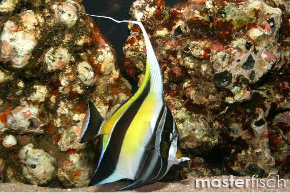 Halfterfisch Canescens Hawaii