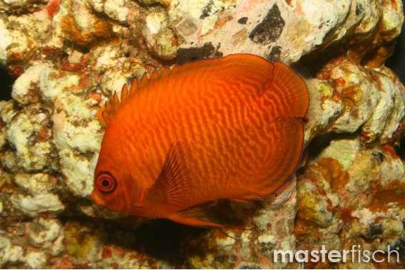 Goldstreifen-Zwergkaiserfisch