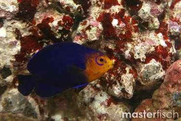 Blauer Zwergkaiserfisch