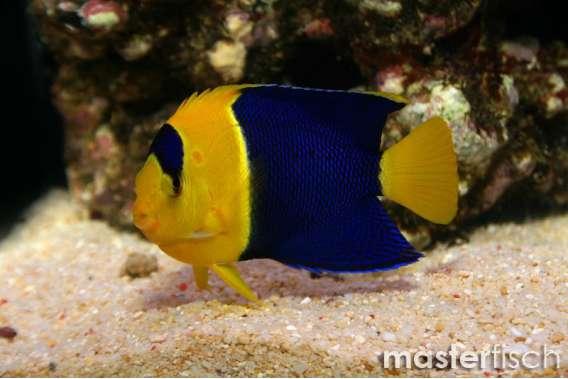 Blaugelber Zwergkaiserfisch