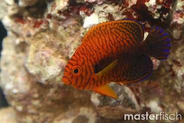 Potters Zwergkaiserfisch