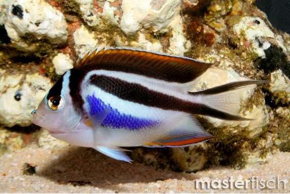 Pracht-Lyrakaiserfisch