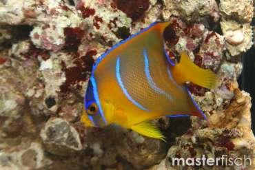Diadem- Prachtkaiserfisch
