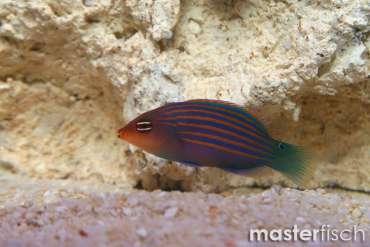 Sechsstreifen-Lippfisch