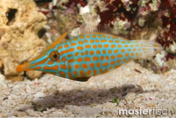 Orange-Feilenfisch