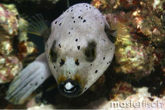 Schwarzflecken Kugelfisch