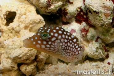 Hawaii-Spitzkopfkugelfisch