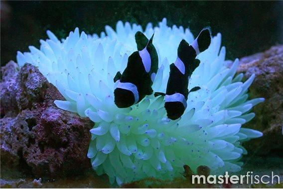 Falscher Clownfisch Full Black (Nachzucht) + Anemone