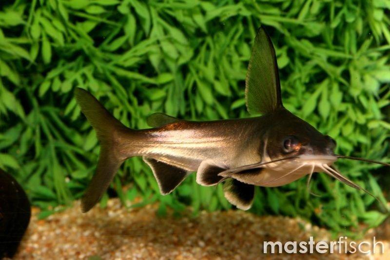 Westamerikanische Kreuzwels Minihai Ariopsis Seemanni Aquaristik
