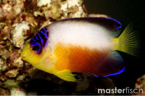 Vielfarben-Zwergkaiserfisch