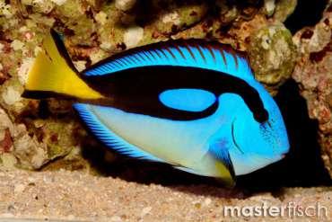Paletten-Doktorfisch gelber Bauch