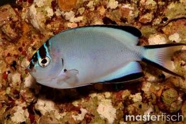 Gelbstreifen- Lyrakaiserfisch