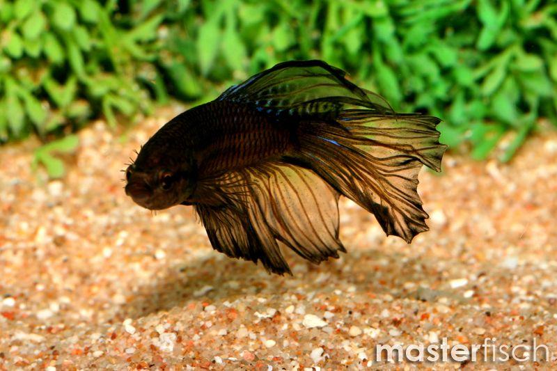 Siamesischer kampffisch halfmoon super schwarz masterfisch for Japanischer kampffisch