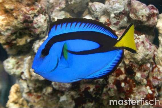 Paletten Doktorfisch (Nachzucht)