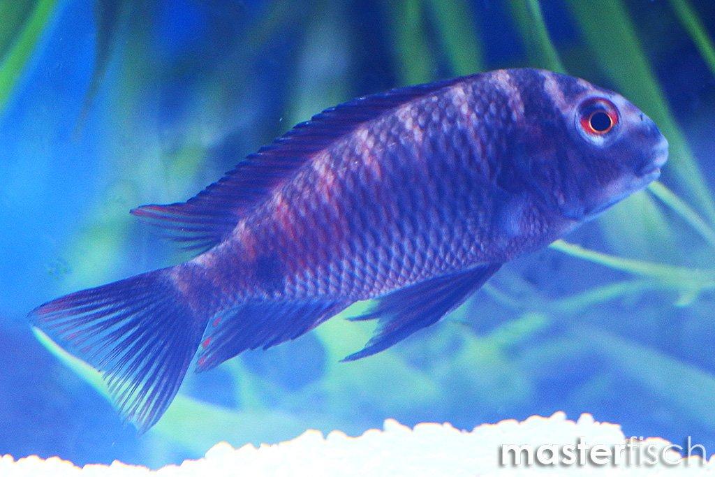 Red Rainbow Brabantbuntbarsch Aquaristik Shop