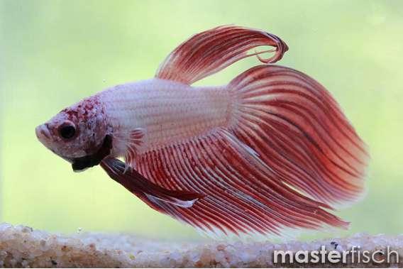 Siamesischer Kampffisch Dragon