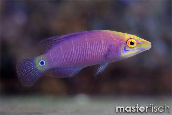 Geringelter Zwerglippfisch
