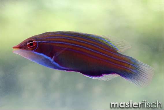 Vierstreifen-Lippfisch